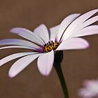 Osteospermum by PinkK