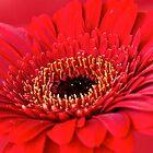 Red Gerbera by Mihaela Limberea