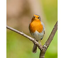 Little Robin Red Breast Photographic Print