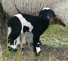 Baby Pinto Lamb by louisegreen
