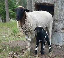Baby Pinto Lamb & Mum by louisegreen