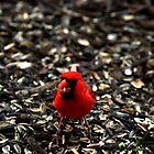 Cardinal color by Christopher Hanke