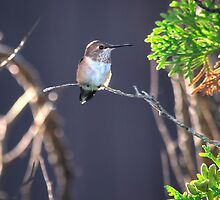 Backlit Rufous by Bryan Peterson
