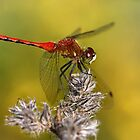Red Dragonfly by Jim Cumming