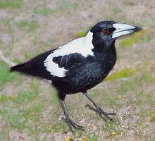 AUSTRALIAN MAGPIE - We are Meat Eaters and You Bring Seed by Toni Kane