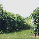 CONCORD GRAPE VINEYARD by Pauline Evans
