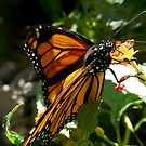 monarch getting some nectar by tego53