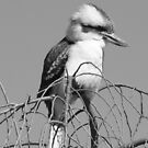 Kookaburra in B&amp;W, Gold Coast, Australia by krista121