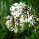 Dandelion Dew by Tonee Christo