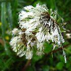 Dandelion Dew by Tonee Christo