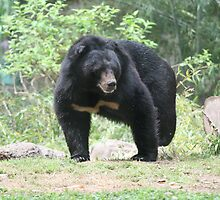 Pacing Bear by camerawoman1