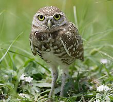 Burrowing Owl by Jeff VanDyke