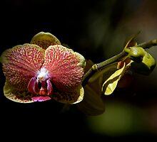Leu Gardens Orchid by Glennis  Siverson