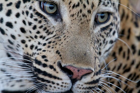 Leopard - Mxabene Male by Michael  Moss