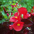 Red Begonia by Rewards4life