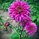 Dahlia Jenna  by Rewards4life