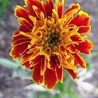French Marigold by Peter Ackers
