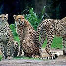 Cheetas in the Rain by Margaret  Shark