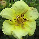 Soft Yellow Bloom by WienArtist