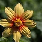 Dahlia Enjoying Sunlight by coffeebean