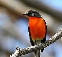 Flame Robin - Male by EnviroKey