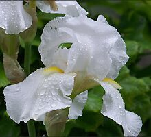 Rainy Day Iris by Raianerastha