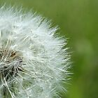 Dandelion Gone to Seed by micala