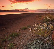 Wild daisy in the midnight sunset by Frank Olsen