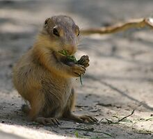 Black-Tailed Prairie Dog by Sanne Hoekstra