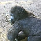 Gorilla, San Diego Zoo by ACBPhotos