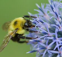 Bumblebee on Globe Thistle. by Daniel Cadieux