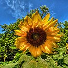 Sunflower by Andre Faubert