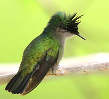 Antillean Crested Hummingbird Perched on a Branch by JohnINPIX