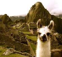 Baby Alpaca at Machu Picchu by Danielle Hall