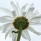 white on white by pallyduck