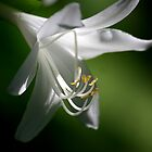 Hosta Plantaginea by Brent McMurry