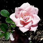 Pastel Pink  Rose by G.T.S Photos