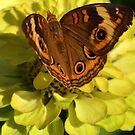 Miss Butterfly by Eileen Brymer
