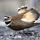 Killdeer by RPAspey