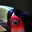 Red Breasted Toucan Portrait #2, at Iguassu, Brazil.  by Carole-Anne