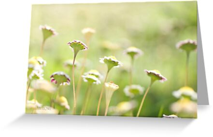 Everyone is beautiful - Miniature daisies  by Kell Rowe