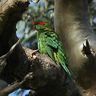 Musk Lorikeet preening - Shephard's Hill Recreation Park, South Australia by Dan & Emma Monceaux