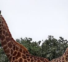 Giraffe by Lynn Bolt