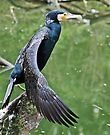 Great Cormorant - Phalacrocorax carbo by Melissa Dickson