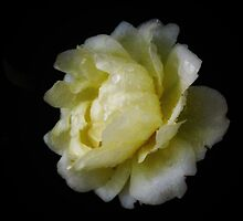 Lemon patio rose by Karen  Betts