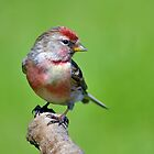Lesser Redpoll ~ male by Margaret S Sweeny