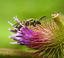 Green Sweat Bee on Burdock by LeafLand