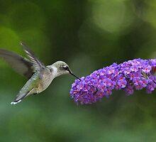 Hummingbird on butterfly bush by mltrue
