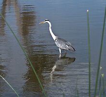 Grey Heron 2 by KAREN SCHMIDT