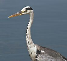 Grey Heron 3 by KAREN SCHMIDT